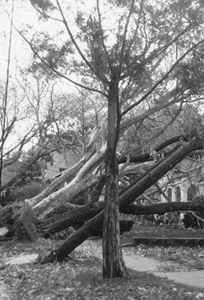 In the Aftermath of Hurricane Sandy: A photo of the tree described by the writer